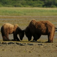 Mother+Child brown bear, KukakBay, Kamtchatka
