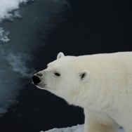 Polarbear on ice