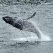 Jumping Humpback Whale